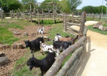 Pygmy goat walkthrough