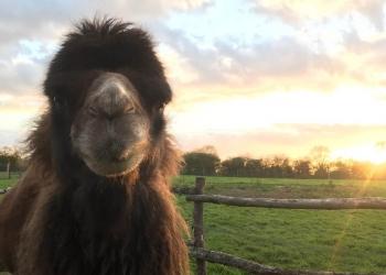 Camel Day