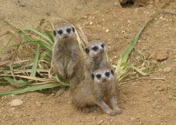 Baby Meerkats arrive
