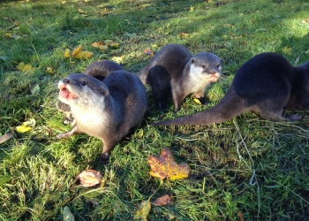 Otters at Hobbledown