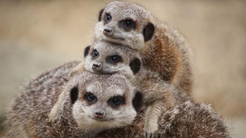 Feed the Meerkats