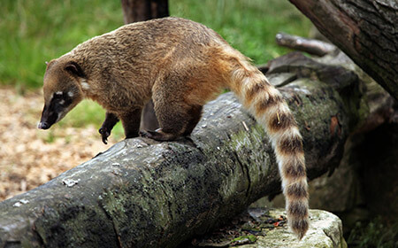 Coatis are members of the raccoon family. They are gentle, easy going and incredibly noisy animals.
