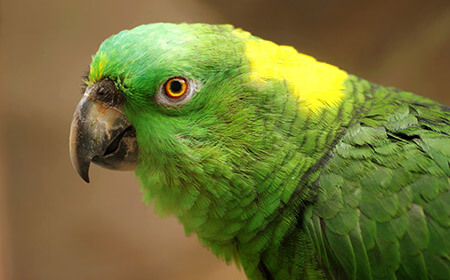 A cousin of the gumblegook, this green-feathered parrot has a bright yellow patch on its neck.