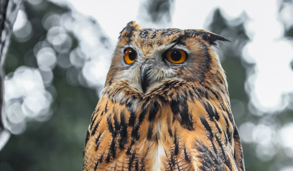 """Indian eagle-owls, come from the Indian Subcontinent and are usually large owls with """"tufts"""" on their head like those of their African cousins. They live in hilly and rocky scrub forests, and are usually seen in pairs. They have a deep resonant boomi"""