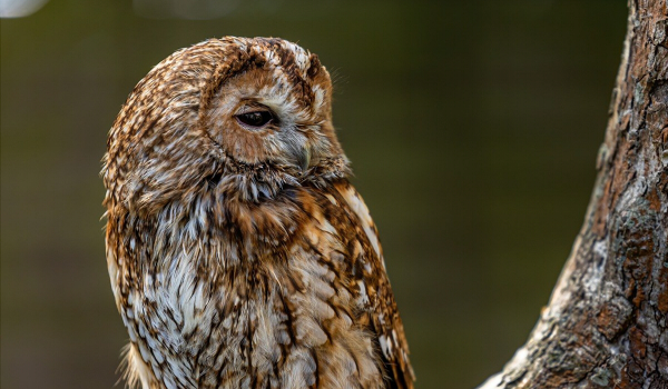 The Tawny Owl is primarily found in woodlands across Eurasia. They usually nest in tree holes in order to protect their eggs and young from predators, and are often seen as an omen of bad luck.