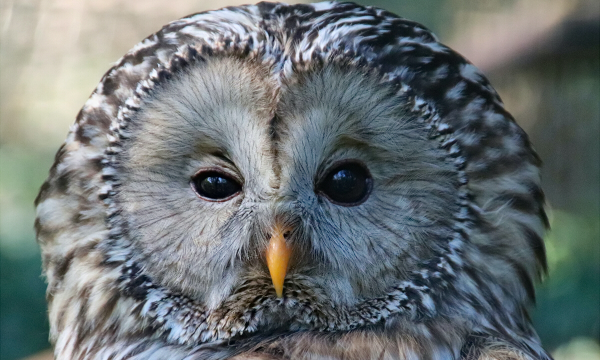 Found in the forests of colder regions, the Ural Owl has a round head, no ear-tufts, and a long tail with a wedge-shaped tip. These owls pair for life, and may be heard singing duets with their mates during courtship.