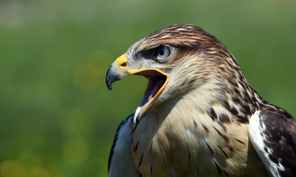 Ferruginous Hawks are found on the Western side of North America, and are the largest member of the Hawk family. Due to their extremely wide mouths, they often swallow their food whole.