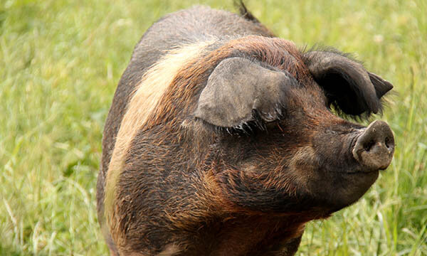 Squiggly-tailed pig that is very fond of mud and apple.
