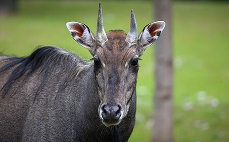 Predators such as tigers and lions will hunt Nilgai in the wild. Luckily they are fast and can travel at great speed.