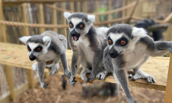 The Ring-Tailed Lemur is an endangered animal native only to Madagascar