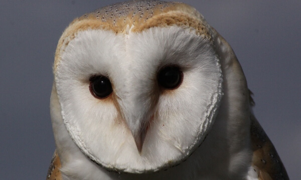 With heart-shaped face, buff back and wings and pure white underparts, the crepuscular barn owl is a distinctive and much-loved countryside bird found widely across the UK and all over the world.