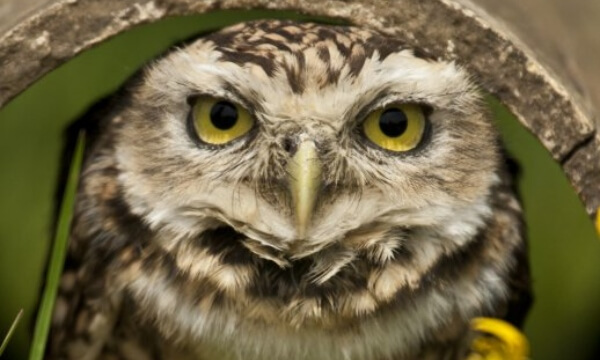 "This little bird, found mostly in North and South America, is different to most other owls. Whilst other owls are active only at night, a burrowing owl hunts during the day too, taking shelter and nesting in underground burrows it ""borrows"" from other"