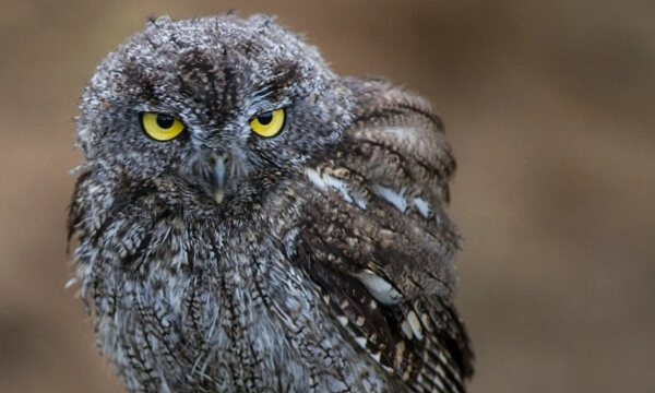A small, nocturnal owl that lives in old cottonwood trees in forests, shrub lands and rural fields in North and Central America.  It is identifiable by it's unique 'screech' which is often mistaken for a horse's 'whinny'.
