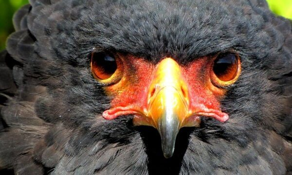 "The Bateleur is the most famous of the snake eagles, found throughout Sub-Saharan Africa in tree and bush Savannah. Bateleur means 'tightrope-walker"" in French and this name was probably chosen because of  this bird's distinctive aerial acrobatics."