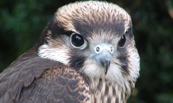 The Lanner Falcon is a medium-sized falcon that breeds in North Africa, south east Europe, the Middle East and as far east as India. A large falcon, it preys on birds and bats.