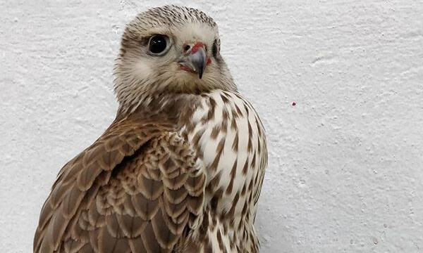Lugger Falcons are found in the Indian Subcontinent but their numbers are in severe decline with only an estimated 15,000 individual birds left in the wild. The Raptor Centre is proud to be involved in Project Lugger www.projectlugger.com,  helping t