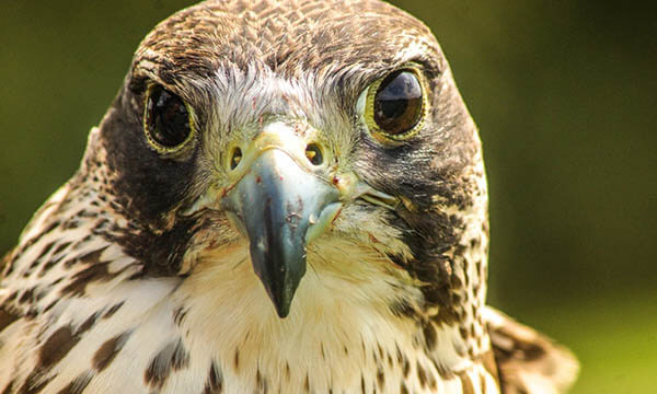 Hobbledown is now home to 17 Birds of Prey including Eagles, Hawks, Owls and Falcons. Flying demonstrations, informative meet and greets and experience days will be on offer throughout the year.